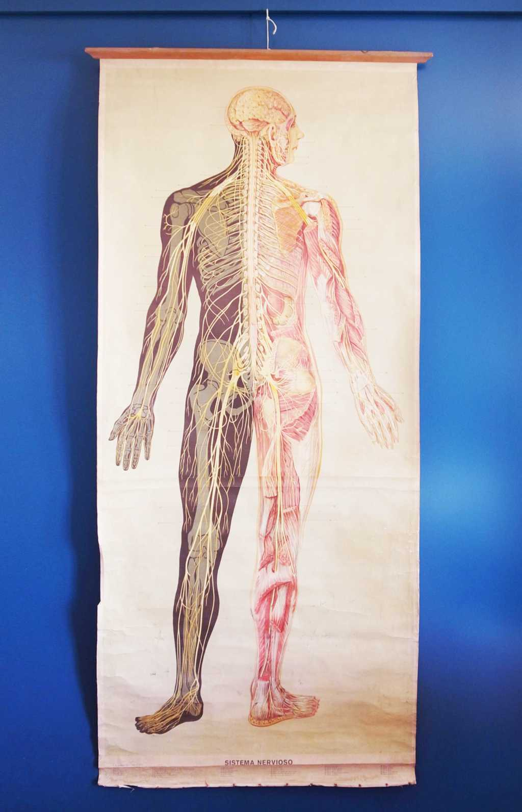 Gran lámina escolar de anatomía nerviosa teNeues, 1953 ...