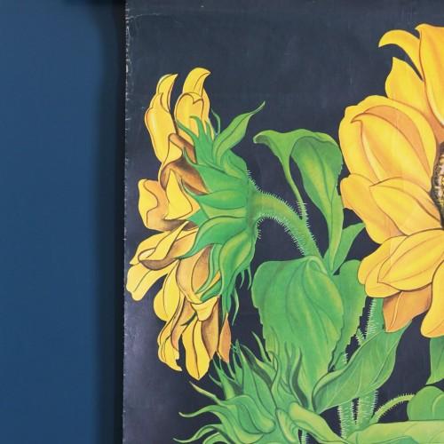GIRASOL - Lámina botánica escolar enrollable. Jung - Koch - Quentell, Alemania, vintage 70s.