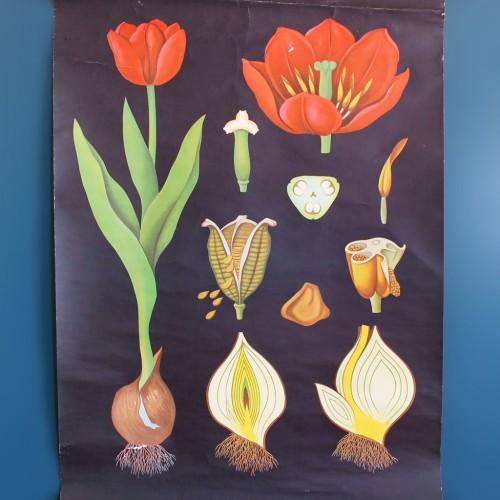 TULIPANES - Lámina botánica escolar enrollable. Jung - Koch - Quentell, Alemania, vintage 70s.
