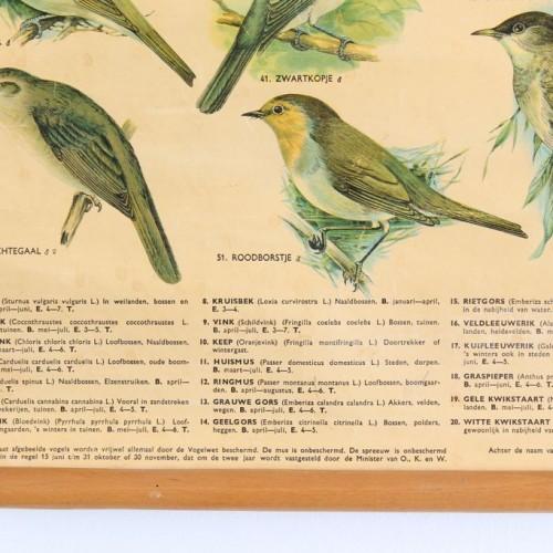 PÁJAROS CANTORES - Lámina escolar zoología-ornitología. Alemania, vintage 60s-70s. W. J. Thieme & Cie.